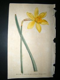 Curtis 1790 Hand Col Botanical Print. Peerless Daffodil 121 Narcissus